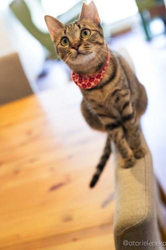 アトリエイエネコ Cat Photographer 30028982947_f41bba1083 1日1猫!保護猫カフェ森のねこ舎さん♪ 1日1猫!  里親様募集中 猫写真 猫カフェ 猫 森のねこ舎 子猫 大阪 初心者 写真 保護猫カフェ 保護猫 Kitten Cute cat
