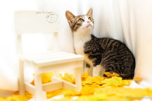 アトリエイエネコ Cat Photographer 43974203015_195400669d 1日1猫!高槻ねこのおうち 里活中のラッセンくん♪ 1日1猫!  高槻ねこのおうち 里親様募集中 猫写真 猫カフェ 猫 子猫 大阪 初心者 写真 保護猫カフェ 保護猫 カメラ Kitten Cute cat