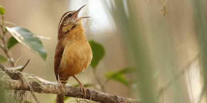 oiseaux-organe-mystérieux