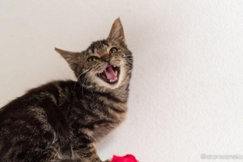 アトリエイエネコ Cat Photographer 45459014961_d0d417cbd3 1日1猫!高槻ねこのおうち 里活中準備中キジ長毛ズ♫ 1日1猫!  高槻ねこのおうち 高槻 里親様募集中 里親募集 猫写真 猫カフェ 猫 子猫 大阪 初心者 写真 保護猫カフェ 保護猫 スマホ キジ猫 カメラ Kitten Cute cat