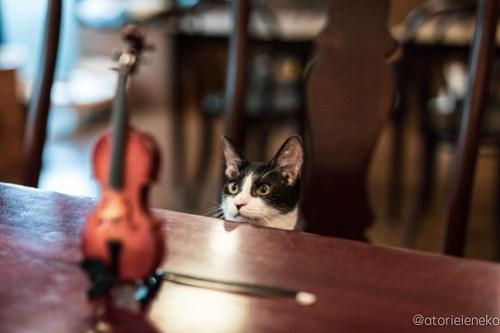 アトリエイエネコ Cat Photographer 45099971592_e250c78314 1日1猫! CaraCatCafeさん里活中のお静ちゃん!(2/3) 1日1猫!  里親様募集中 猫写真 猫カフェ 猫 子猫 大阪 初心者 写真 保護猫カフェ 保護猫 ハチワレ キジ猫 カメラ Kitten Cute cat caracatcafe
