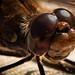 Facettenauge einer Libelle