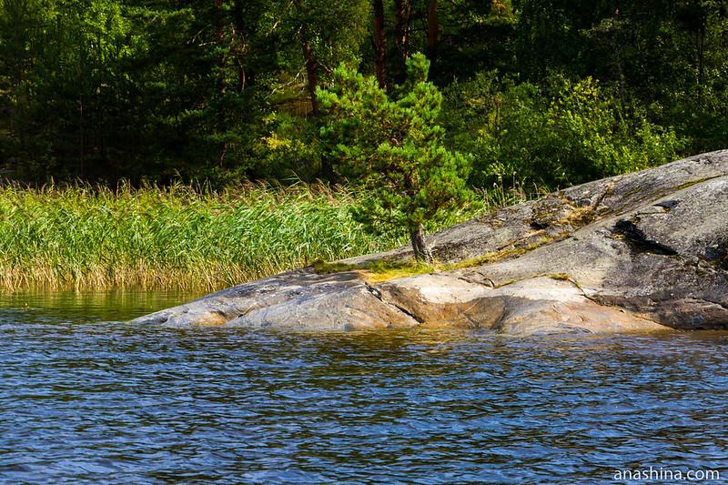 Сосна на скале, Ладожское озеро