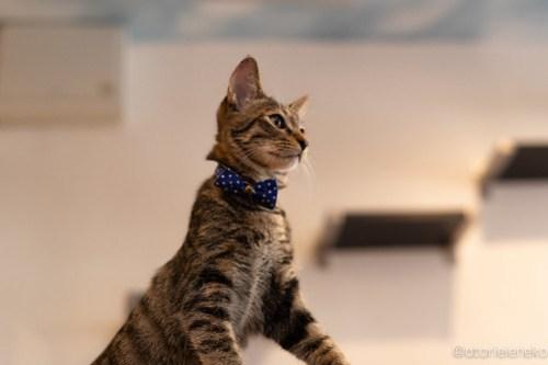 アトリエイエネコ Cat Photographer 43153222240_f2ef34c714 1日1猫!保護猫カフェ森のねこ舎さん♪ 1日1猫!  里親様募集中 猫写真 猫カフェ 猫 森のねこ舎 子猫 大阪 初心者 写真 保護猫カフェ 保護猫 Kitten Cute cat