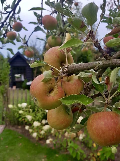 Appelboom schapenhek landelijke tuin