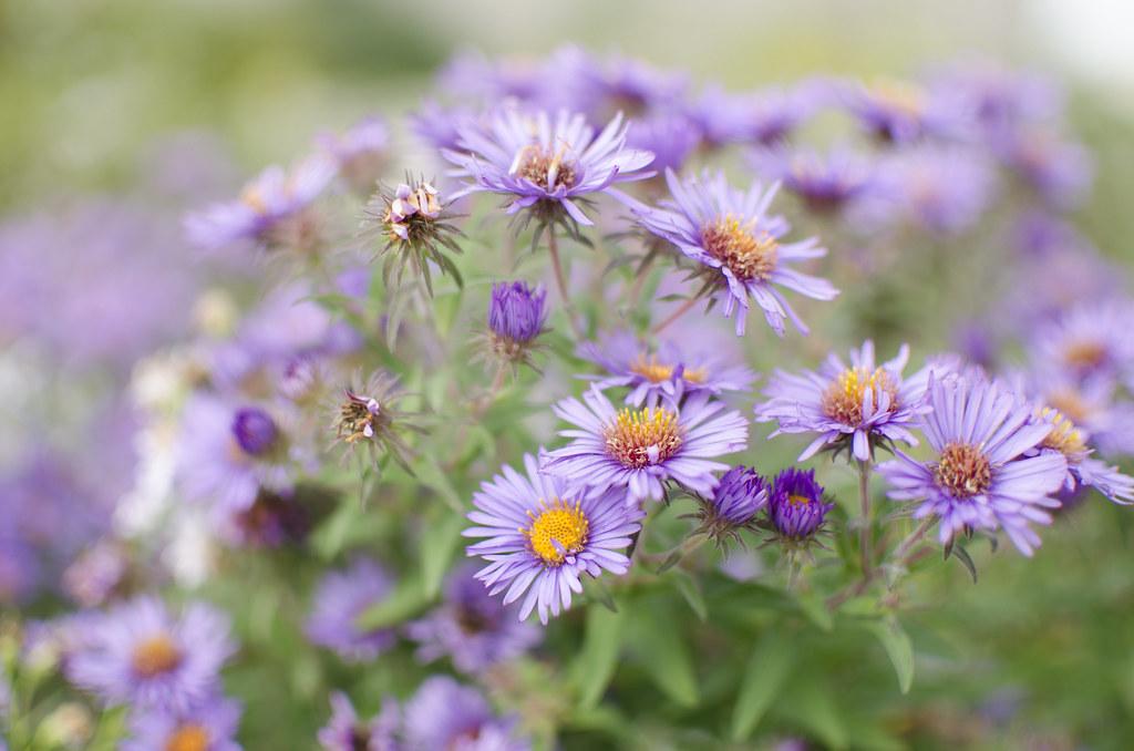 michaelmas daisies 4