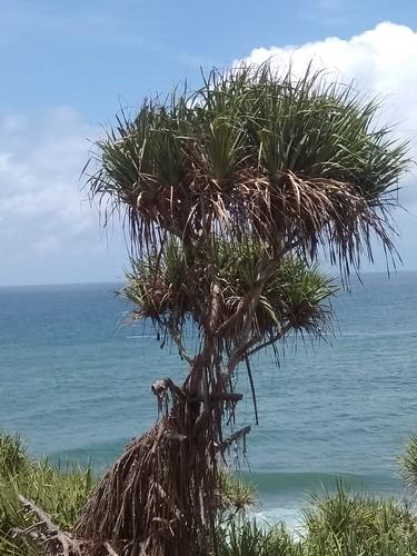pohon pandan laut di pulau drini