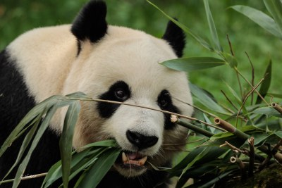 Reuzen Panda / Giant Panda