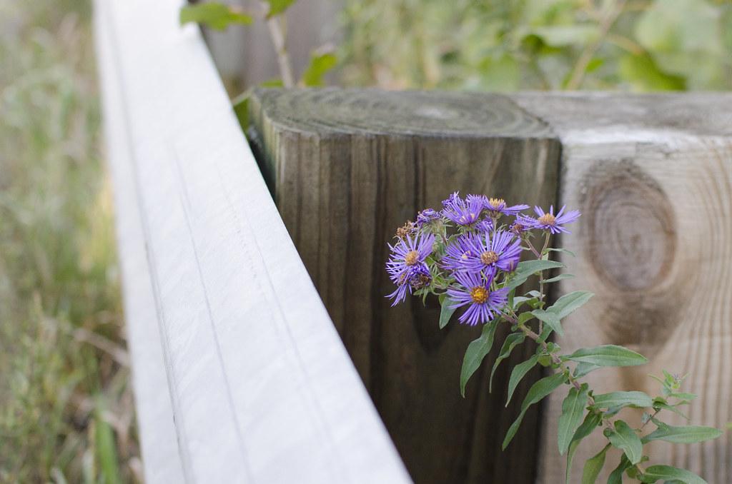 michaelmas daisies 12