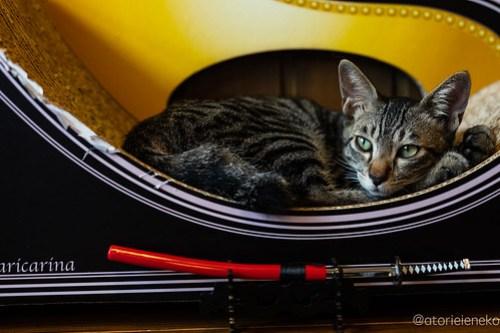 アトリエイエネコ Cat Photographer 44427094434_fbc6bdb57d 1日1猫! CaraCatCafeさん殿様募集中の助さん!(3/3) 1日1猫!  里親様募集中 箕面 猫 子猫 大阪 初心者 写真 保護猫カフェ 保護猫 ハチワレ キジ猫 カメラ Cute cat caracatcafe