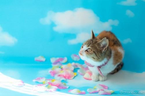 アトリエイエネコ Cat Photographer 30673408847_086df7caef 1日1猫!高槻ねこのおうち 里活中三毛猫ちゃん♫ 1日1猫!  黒猫 高槻ねこのおうち 里親様募集中 里親募集 猫写真 猫カフェ 猫 子猫 大阪 写真 保護猫カフェ 保護猫 三毛猫 カメラ Kitten Cute cat