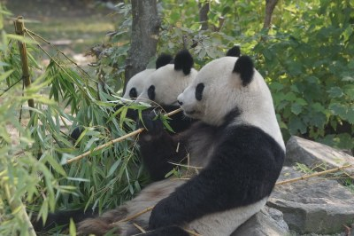 2-year-old Fu Ban and Fu Feng with mom Yang Yang 2018-10-19