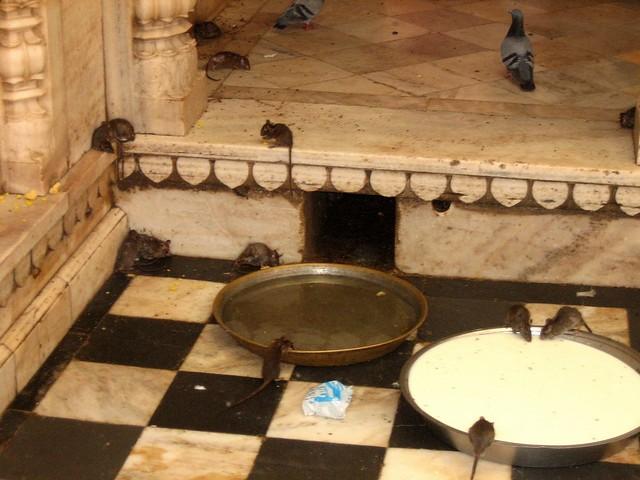 Templo de las Ratas Karni Mata