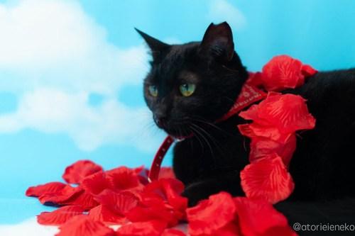 アトリエイエネコ Cat Photographer 45563833942_3ecc5e933f 1日1猫!高槻ねこのおうち 里活中 ねこ谷さん♫ 1日1猫!  黒猫 高槻ねこのおうち 里親様募集中 里親募集 猫写真 猫カフェ 猫 子猫 大阪 写真 保護猫カフェ 保護猫 カメラ Kitten Cute cat