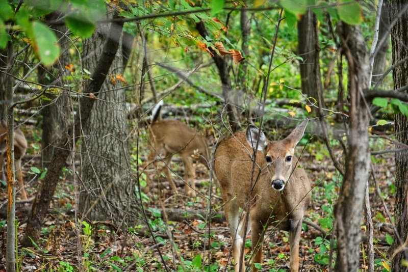 Doe with two older fawns at Eggers Grove