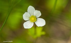 Flora of Newfoundland