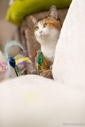アトリエイエネコ Cat Photographer 45563864392_82c6360f2d 1日1猫!保護猫カフェかぎしっぽさんに行って来た♫ 1日1猫!  里親様募集中 猫写真 猫カフェ 猫 子猫 大阪 写真 保護猫カフェかぎしっぽ 保護猫カフェ 保護猫 ハチワレ スマホ サビ猫 キジ猫 カメラ Kitten Cute cat