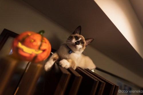 アトリエイエネコ Cat Photographer 44427115634_880eb0d230 1日1猫! CaraCatCafeさん天使達に会いに行って来た!(1/3) 1日1猫!  里親様募集中 猫写真 猫カフェ 猫 子猫 大阪 初心者 写真 保護猫カフェ 保護猫 スマホ カメラ Kitten Cute cat caracatcafe