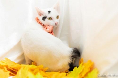アトリエイエネコ Cat Photographer 44165463454_65cedcc7ea 1日1猫!高槻ねこのおうち 里活中のみなみちゃん♪ 1日1猫!  高槻ねこのおうち 里親様募集中 猫写真 猫カフェ 猫 子猫 大阪 初心者 写真 保護猫カフェ 保護猫 スマホ カメラ Kitten Cute cat
