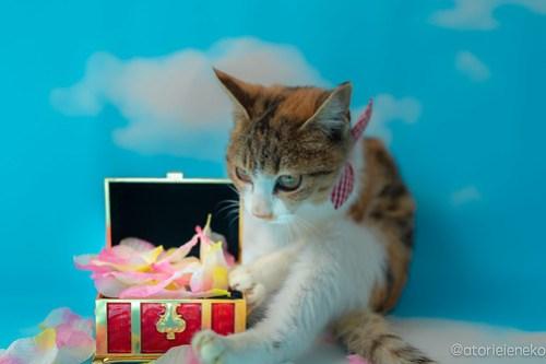 アトリエイエネコ Cat Photographer 45563826182_2eb939ca75 1日1猫!高槻ねこのおうち 里活中三毛猫ちゃん♫ 1日1猫!  黒猫 高槻ねこのおうち 里親様募集中 里親募集 猫写真 猫カフェ 猫 子猫 大阪 写真 保護猫カフェ 保護猫 三毛猫 カメラ Kitten Cute cat