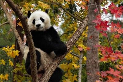 Bei Bei Giant Panda Bear 2