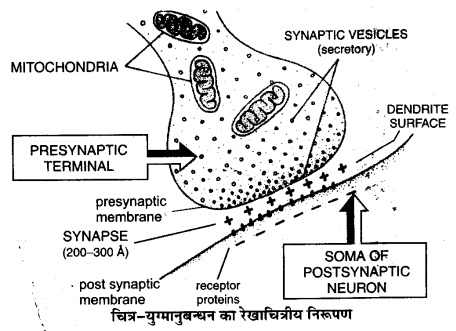 UP Board Solutions for Class 11 Biology Chapter 21 Neural Control and Coordination L 3