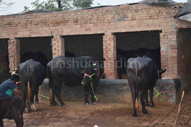 Murrah buffalo for Sale at Batala Punjab | Pashumandi in