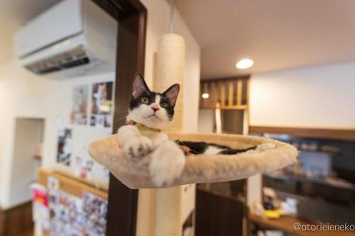 アトリエイエネコ Cat Photographer 43334936100_e6a307ddc4 1日1猫! CaraCatCafeさん里活中のお静ちゃん!(2/3) 1日1猫!  里親様募集中 猫写真 猫カフェ 猫 子猫 大阪 初心者 写真 保護猫カフェ 保護猫 ハチワレ キジ猫 カメラ Kitten Cute cat caracatcafe