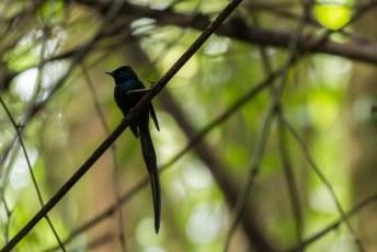 We gingen samen op pad en zagen o.a. deze São Tomé black paradise flycatcher. Komt alleen op dit eiland voor mensen.