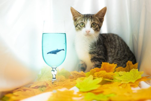 アトリエイエネコ Cat Photographer 43095764910_d47ee5a825 1日1猫!高槻ねこのおうち 里活中のラッセンくん♪ 1日1猫!  高槻ねこのおうち 里親様募集中 猫写真 猫カフェ 猫 子猫 大阪 初心者 写真 保護猫カフェ 保護猫 カメラ Kitten Cute cat