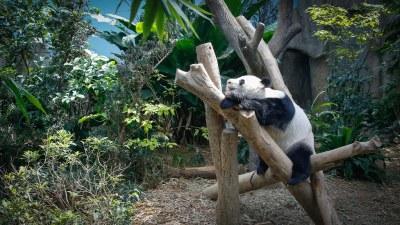River Safari 08 Giant Panda Forest - Giant Panda Kai Kai 021