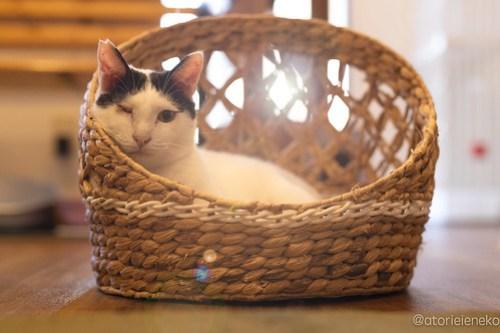 アトリエイエネコ Cat Photographer 44053448365_9f2659c663 1日1猫!保護猫カフェ森のねこ舎さん♪ 1日1猫!  里親様募集中 猫写真 猫カフェ 猫 森のねこ舎 子猫 大阪 初心者 写真 保護猫カフェ 保護猫 Kitten Cute cat