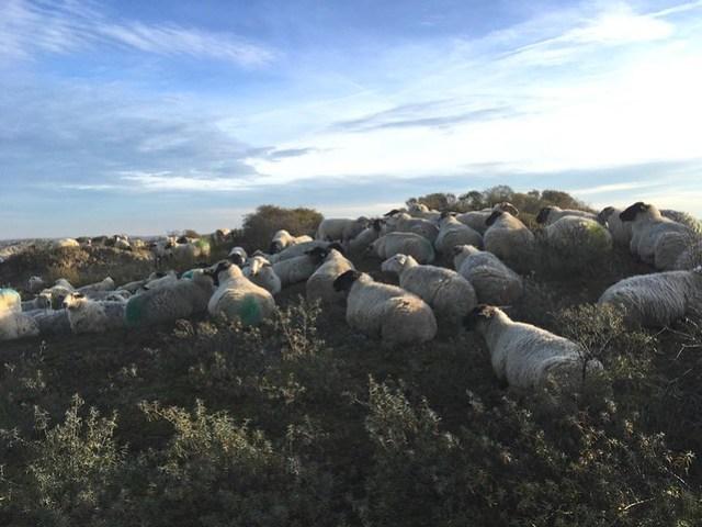 schapen berkhijde