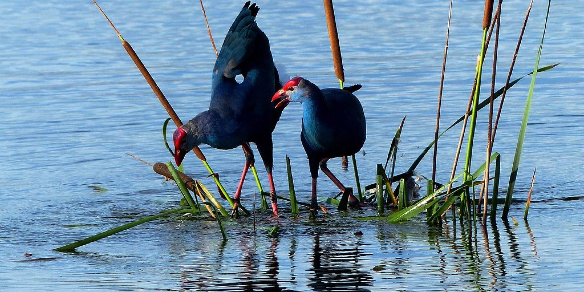 Purple Swamphen - courtship display