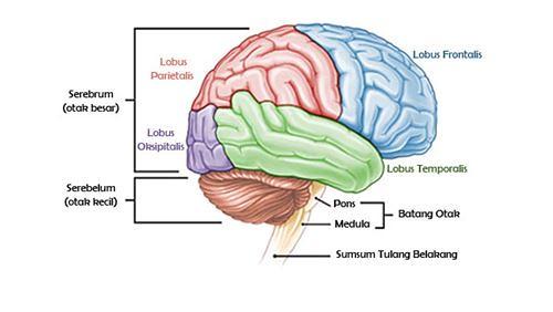 Otak - Definisi, Fungsi, dan Penyakit Terkait