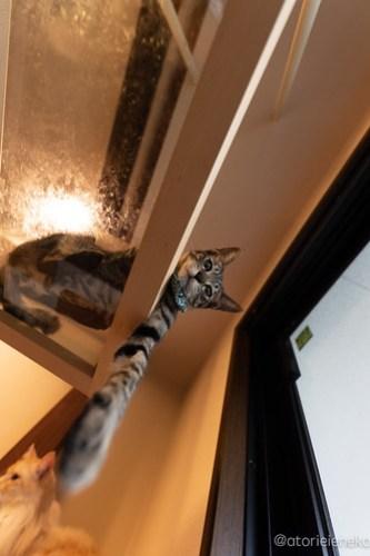 アトリエイエネコ Cat Photographer 43334969010_8421ab61cc 1日1猫! CaraCatCafeさん殿様募集中の助さん!(3/3) 1日1猫!  里親様募集中 箕面 猫 子猫 大阪 初心者 写真 保護猫カフェ 保護猫 ハチワレ キジ猫 カメラ Cute cat caracatcafe