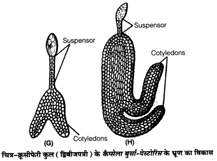 UP Board Solutions for Class 12 Biology Chapter 2 Sexual Reproduction in Flowering Plants 4Q.5.2
