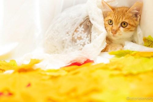 アトリエイエネコ Cat Photographer 44886264271_325b965013 1日1猫!高槻ねこのおうち 里活中のどれみちゃん♪ 1日1猫!  高槻ねこのおうち 里親様募集中 茶白 猫写真 猫カフェ 猫 子猫 大阪 初心者 写真 保護猫カフェ 保護猫 ハチワレ ニャンとぴあ キジ猫 Kitten Cute cat