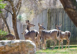 Photo of deer herd at fence