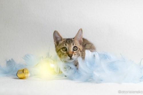 アトリエイエネコ Cat Photographer 31113504388_b1d9b57a94 1日1猫!おおさかねこ倶楽部 里活中のあきとくん♪ 1日1猫!  里親様募集中 猫写真 猫カフェ 猫 子猫 大阪 写真 保護猫カフェ 保護猫 ニャンとぴあ キジ猫 カメラ おおさかねこ倶楽部 Kitten Cute cat