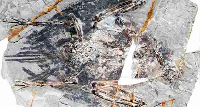 fossile-oiseau-poumon