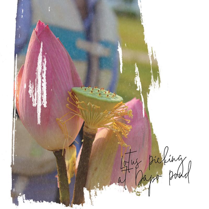 03-Lotus-Picking