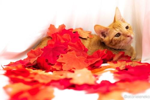 アトリエイエネコ Cat Photographer 31012905598_44ca320793 1日1猫!高槻ねこのおうち 里活中のチーズちゃん♪ 1日1猫!  高槻ねこのおうち 里親様募集中 茶トラ 猫写真 猫カフェ 猫 子猫 大阪 初心者 写真 保護猫カフェ 保護猫 Kitten Cute cat