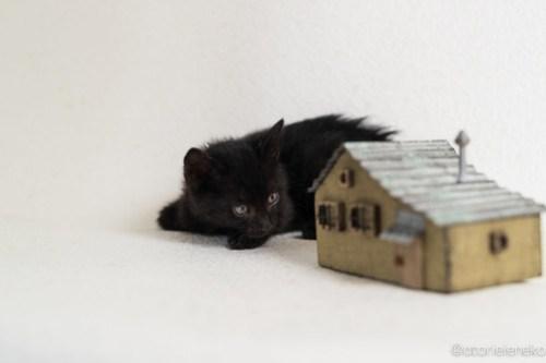 アトリエイエネコ Cat Photographer 45458743991_ea544c6bbb 1日1猫!高槻ねこのおうち 里活中黒子猫(まだ名無し)♪ 1日1猫!  黒猫 高槻ねこのおうち 高槻 里親様募集中 猫写真 猫カフェ 猫 子猫 大阪 初心者 写真 保護猫 Kitten Cute cat