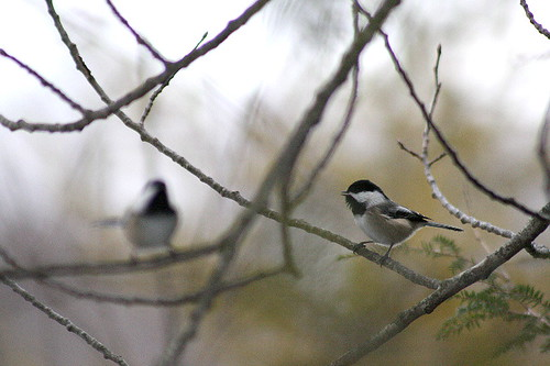Pished off Black-capped Chickadees