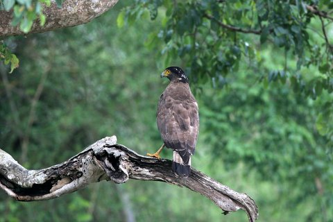 crested serpent eagle on brach bandipur