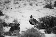 Sage Hens by Anne Rowlison Martinez