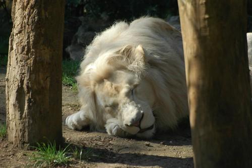 Weißer Löwe Jabu im Zoo de La Flèche