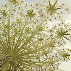 Queen Anne's Lace,  http://www.flickr.com/photos/vsanderson/