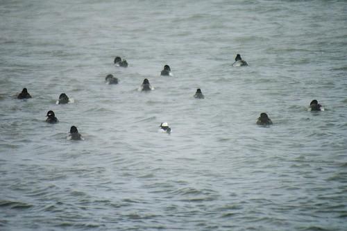 Raft of ducks!